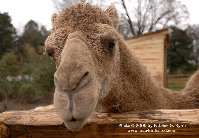 Aladdin The Christmas Camel Arrives At Mt Vernon