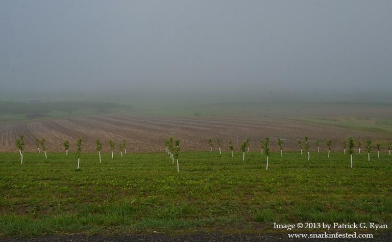 Orchard Fog*9097